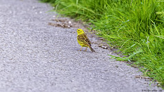 look left ,look right (blackfox wildlife and nature imaging) Tags: nikon nikond3s sigma150600c yellowhammer northwales upinthehills birds wildlife