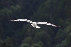 Yellow-legged Gull (Larus michahellis, Goéland leucophée) (Sophie Giriens) Tags: yellowlegged gull larus michahellis goéland leucophée azores des açores