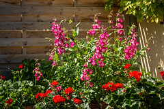 Penstemon flowers (Keith now in Wiltshire) Tags: flower penstemon geranium garden summer wiltshire fence foliage
