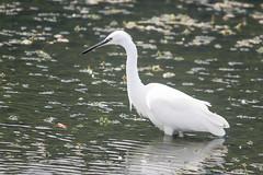 Little egret (Egretta garzetta) (Sophie Giriens) Tags: little egret egretta garzetta aigrette garzette des açores azores