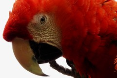 macaw macaw.... (starc283) Tags: flickr flicker bird birding birds starc283 nature naturesfinest naturewatcher natures
