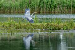 Glider (cabalvoid) Tags: woodland a7riii wild wildlife flying nature bird heron lincolnshire birding lake water grayheron greyheron