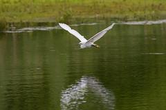 Egret in Flight #1 (cabalvoid) Tags: a7r3 birding nature water flying egret littleegret lincoln a7riii wild wildlife flight bird heron lincolnshire woodland lake swampland