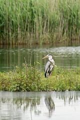 Hunting Heron (cabalvoid) Tags: woodland birding wild wildlife a7riii nature water heron lincolnshire flying lake bird grayheron greyheron