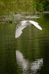 Egret in Flight #2 (cabalvoid) Tags: a7r3 birding nature water flying lake littleegret lincoln a7riii wild wildlife flight bird heron lincolnshire egret woodland swampland