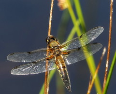 Dragonfly (eric robb niven) Tags: ericrobbniven scotland dunkeld macro dragonfly springwatch darter four spotted