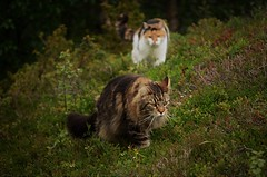 a surprise for Elvis... (KvikneFoto) Tags: nikon katt cat elvis åsta bokeh 2019
