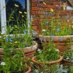 Pots of Summer Flowers. (margaretgeatches) Tags: summer gardenbuilding oldbrick window beddingplants silver white green lilac yellow blue flowers terracottapots kingstonlacy wimborneminster dorset