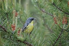 Kirtland's Warbler (Greg Lavaty Photography) Tags: setophagakirtlandii michigan june campgrayling crawfordcounty birdphotography outdoors bird nature wildlife