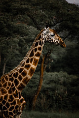 Giraffe in the wild-5.jpg (eoin_feely) Tags: africa wild safari wildanimal nature giraffe africansafari animals animal