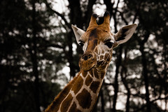 Giraffe-5.jpg (eoin_feely) Tags: africa wild safari wildanimal nature giraffe africansafari animals animal