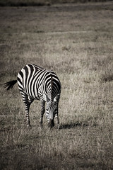 A Zebra.jpg (eoin_feely) Tags: africa zebra wild safari wildanimal nature animals africansafari animal