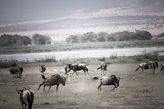 wildebeest-6.jpg (eoin_feely) Tags: africa wild safari wildanimal nature animals africansafari wildebeest animal