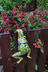 Um Zaunkönig zu werden, muss man sich als Frosch sehr anstrengen!   ... HFF ! (Mecklenburg-Foto) Tags: garten zaun frosch hff