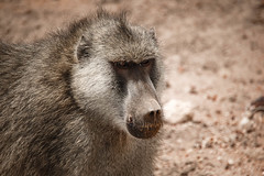 baboon-2.jpg (eoin_feely) Tags: africa wild safari wildanimal nature animals africansafari monkey babon animal