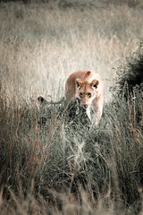 lion.jpg (eoin_feely) Tags: africa wild safari wildanimal nature animals africansafari animal lion
