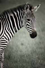 zebra-12.jpg (eoin_feely) Tags: africa zebra wild safari wildanimal nature animals africansafari animal