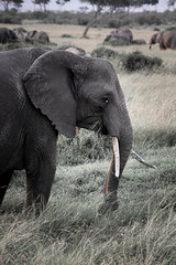 elephant-13.jpg (eoin_feely) Tags: africa wild safari wildanimal nature animals africansafari elephant animal