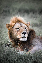 lion-9.jpg (eoin_feely) Tags: africa wild safari wildanimal nature animals africansafari animal lion