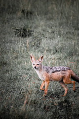 jackal.jpg (eoin_feely) Tags: africa wild safari wildanimal nature animals africansafari jackal animal