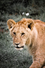 lion-27.jpg (eoin_feely) Tags: africa wild safari wildanimal nature animals africansafari animal lion
