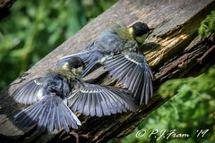 'Stan and Ollie were finding (Rat_Salad (sorry if too busy to play for a while..) Tags: canon1dx canonef600mmf4isusm greattit parusmajor parcslipnaturereserve