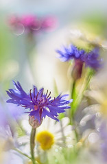 (marussia1205) Tags: лето ромашки боке васильки букет summer daisies cornflowers bouquet bokeh