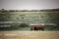 hippo.jpg (eoin_feely) Tags: africa wild safari wildanimal nature animals africansafari animal hippo