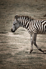 zebra-4.jpg (eoin_feely) Tags: africa zebra wild safari wildanimal nature animals africansafari animal