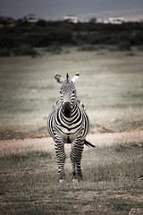 zebra-6.jpg (eoin_feely) Tags: africa zebra wild safari wildanimal nature animals africansafari animal