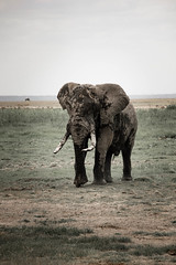 elephant.jpg (eoin_feely) Tags: africa wild elephant nature animal animals safari wildanimal africansafari