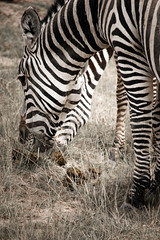 zebra-7.jpg (eoin_feely) Tags: africa zebra wild safari wildanimal nature animals africansafari animal