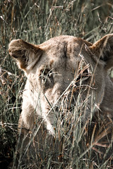 lion-4.jpg (eoin_feely) Tags: africa wild safari wildanimal nature animals africansafari animal lion