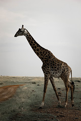 giraffe.jpg (eoin_feely) Tags: africa wild safari wildanimal nature giraffe africansafari animals animal