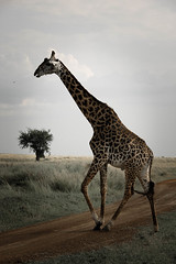 giraffe-2.jpg (eoin_feely) Tags: africa wild safari wildanimal nature giraffe africansafari animals animal