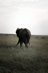 elephant-11.jpg (eoin_feely) Tags: africa wild safari wildanimal nature animals africansafari elephant animal