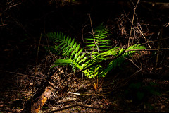 Young green leaves at black background. Moscow region, Russia      XOKA2941bs (Phuketian.S) Tags: flower leaf leaves black background blackbackground day night light forest garden nature landscape ground лес лист листья растение молодой young природа ландшафт москва подмосковье россия moscow region russia phuketian