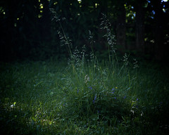 grass patch, 6-25-19 (wbhmatthies) Tags: grasses patch light green blue shadows vignetting canon7d wilhelmmatthies