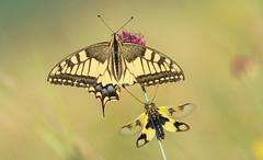 Missing part.....  (Papilio machaon & Libelloides macaronius) (Torok_Bea) Tags: papiliomachaon libelloidesmacaronius fecskefarkúlepke butterfly nikon nikond7200 natur nature amazing awesome sigma sigma150mm wonderful wildanimal wild rablópille keletirablópille fokozottanvédett machaon
