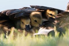 ''Couverture de plume!'' Bernache du canada-Canada goose (pascaleforest) Tags: oiseau bird animal passion nikon nature wild wildlife faune québec canda bébé baby