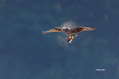 Osprey (Mike Veltri) Tags: osprey asiancarp flight birds avian backlit naturephotography burlington ontario canada