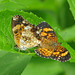 Silvery checkerspots - mating pair (Chlosyne nycteis)