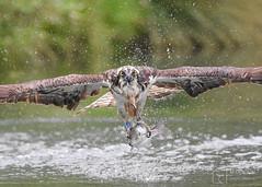Successful Fish (mikedenton19) Tags: pandion haliaetus pandionhaliaetus osprey raptor birdofprey bird of prey rutland water horn mill trout farm hornmilltroutfarm wildlife nature