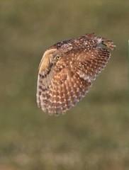June 27, 2019 - A burrowing owl takes flight. (Bill Hutchinson)
