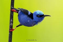Red-legged Honeycreeper (Michelle w.h. Xu) Tags: redlegged honeycreeper redleggedhoneycreeper bird wildlife animal blue green red nature alajuela costarica costa rica cyanerpescyaneus
