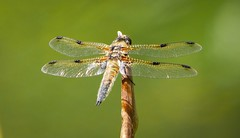 Four spotted chaser (davidbroughton2103) Tags: dragonfly chaser spotted four
