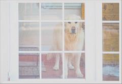 Kooper (katalvarez67) Tags: dog pet animals retriever puppy labrador