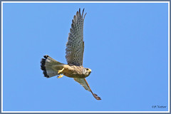 Faucon vol 190628-03-P (paul.vetter) Tags: ornithologie ornithology faune animal bird fauconcrécerelle falcotinnunculus commonkestrel rapace cernícalovulgar peneireirovulgar turmfalke