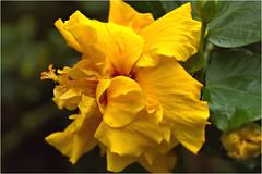 hibiscus (atsjebosma) Tags: yellow flower hibiscus summer zomer 2019 june juni geel bloem atsjebosma macro details coth5 ngc