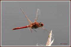 Sympétrum rouge sang 190627-06-P (paul.vetter) Tags: libellule sympetrum odonate